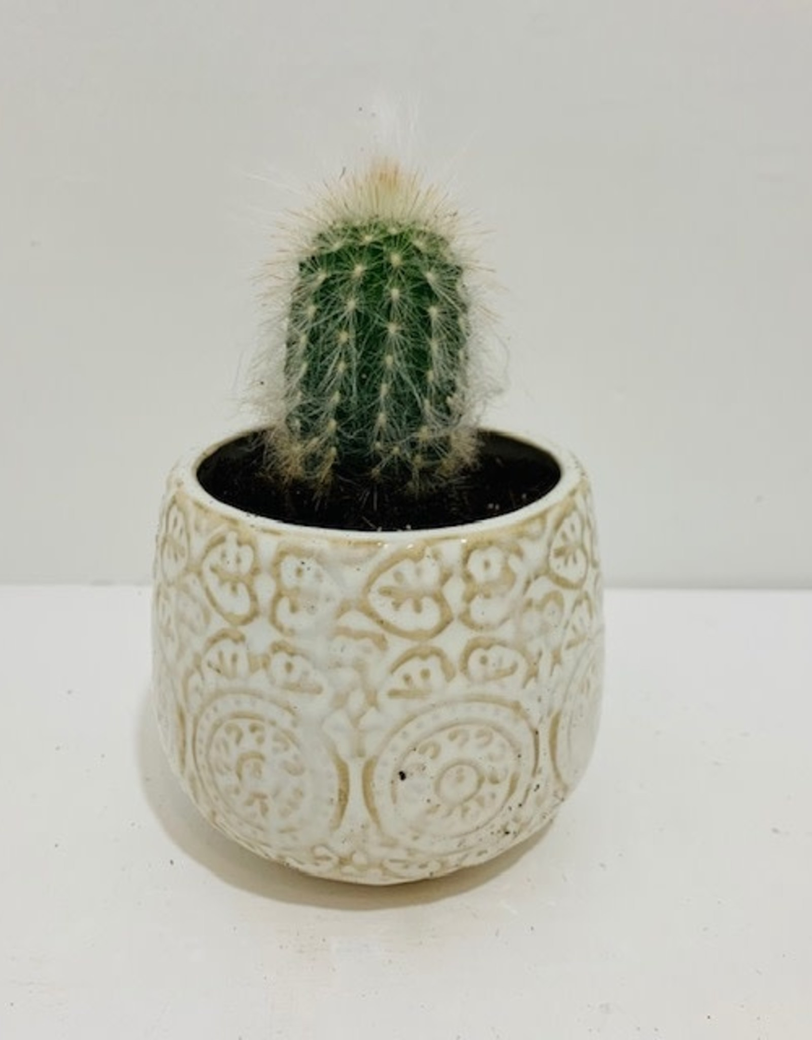 """2"""" Fuzzy Cactus in Patterned Ceramic Container"""