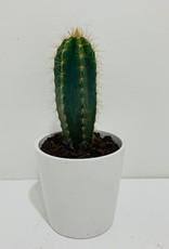 """4"""" Blue Cactus in White Container"""