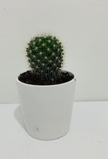 """4"""" Green Cactus in White Container"""