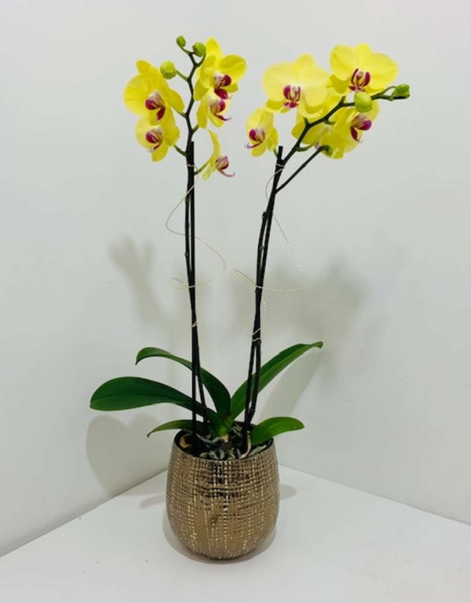 Double Stem Orchid in Gold Container