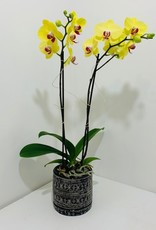 Double Stem Orchid in Black Container