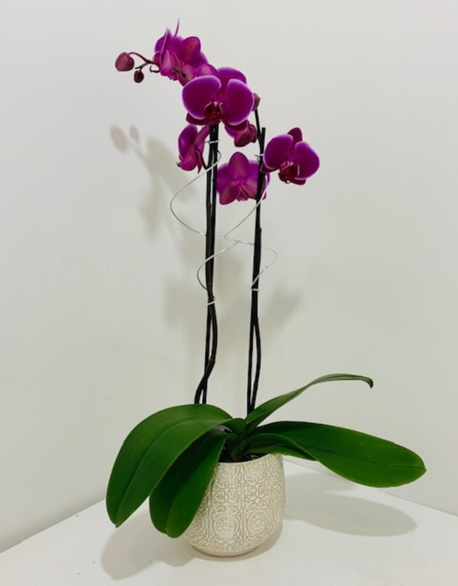 Double Stem Orchid in Off White Container