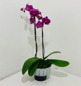 Double Stem Orchid in Black & White Container