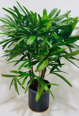 Rhapis Palm 10""