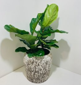 "10"" Fiddle Leaf Fig in Ceramic Pot"