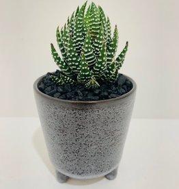 """2"""" Haworthia in Footed Brown Ceramic Pot"""