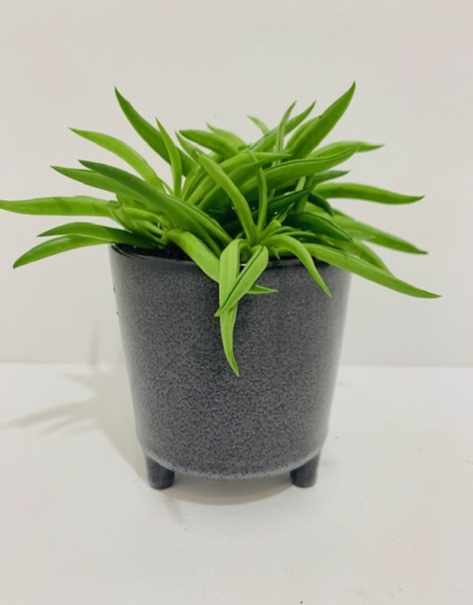 """4"""" Happy Bean Peperomia in Brown Footed Ceramic Pot"""