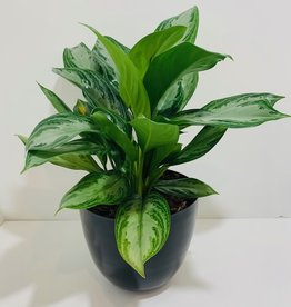 "6"" Aglaonema in Black Metal Container"