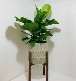 Fiddle Leaf Fig in Planter on Stand