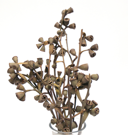 """Natural Conical Gum Pods H8-10"""" - 8-10 Stems / bunch"""