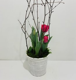 "6"" Tulip in White Tin Container"