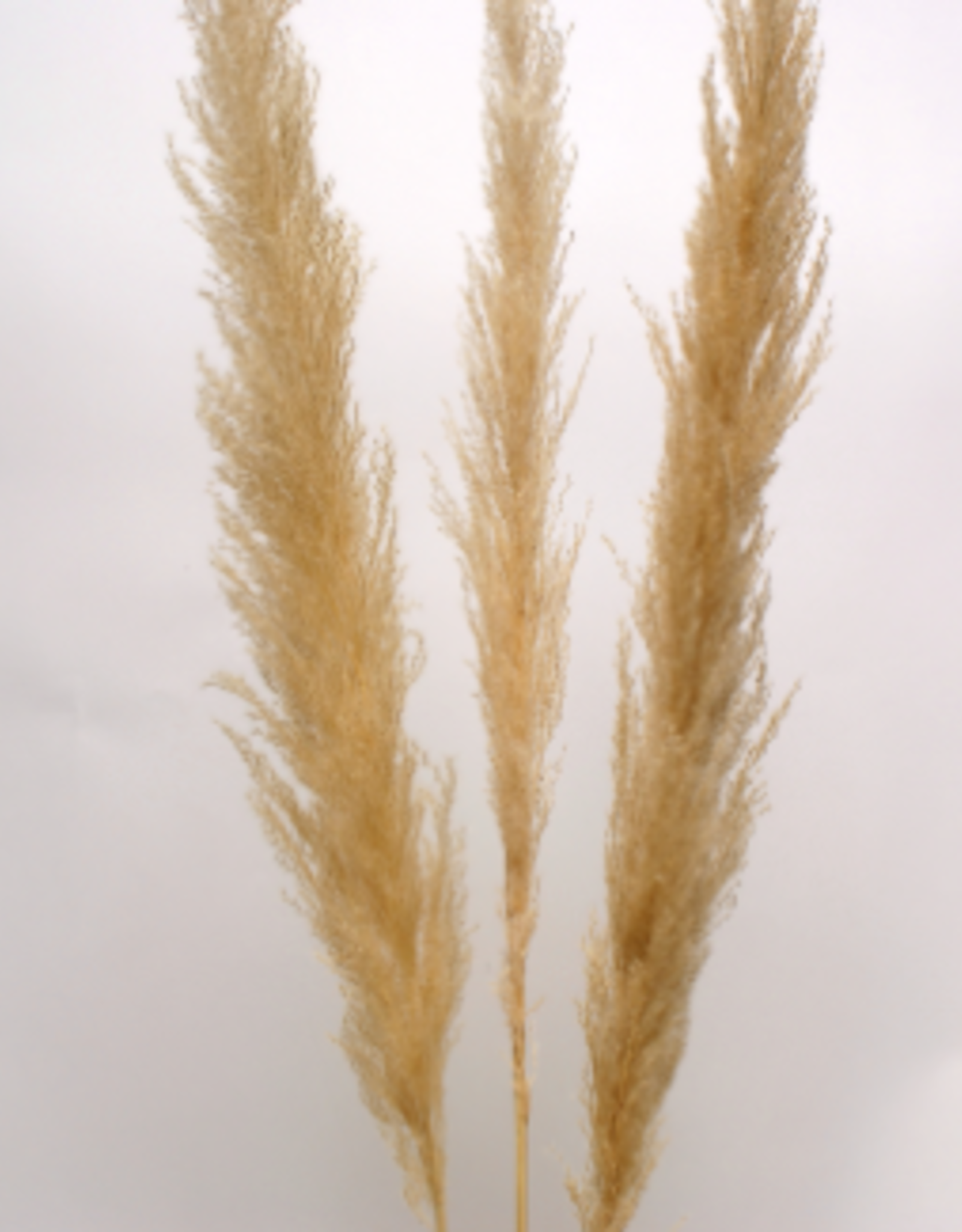 "45"" Cream Pampas Grass, 3 Stems / Bunch"