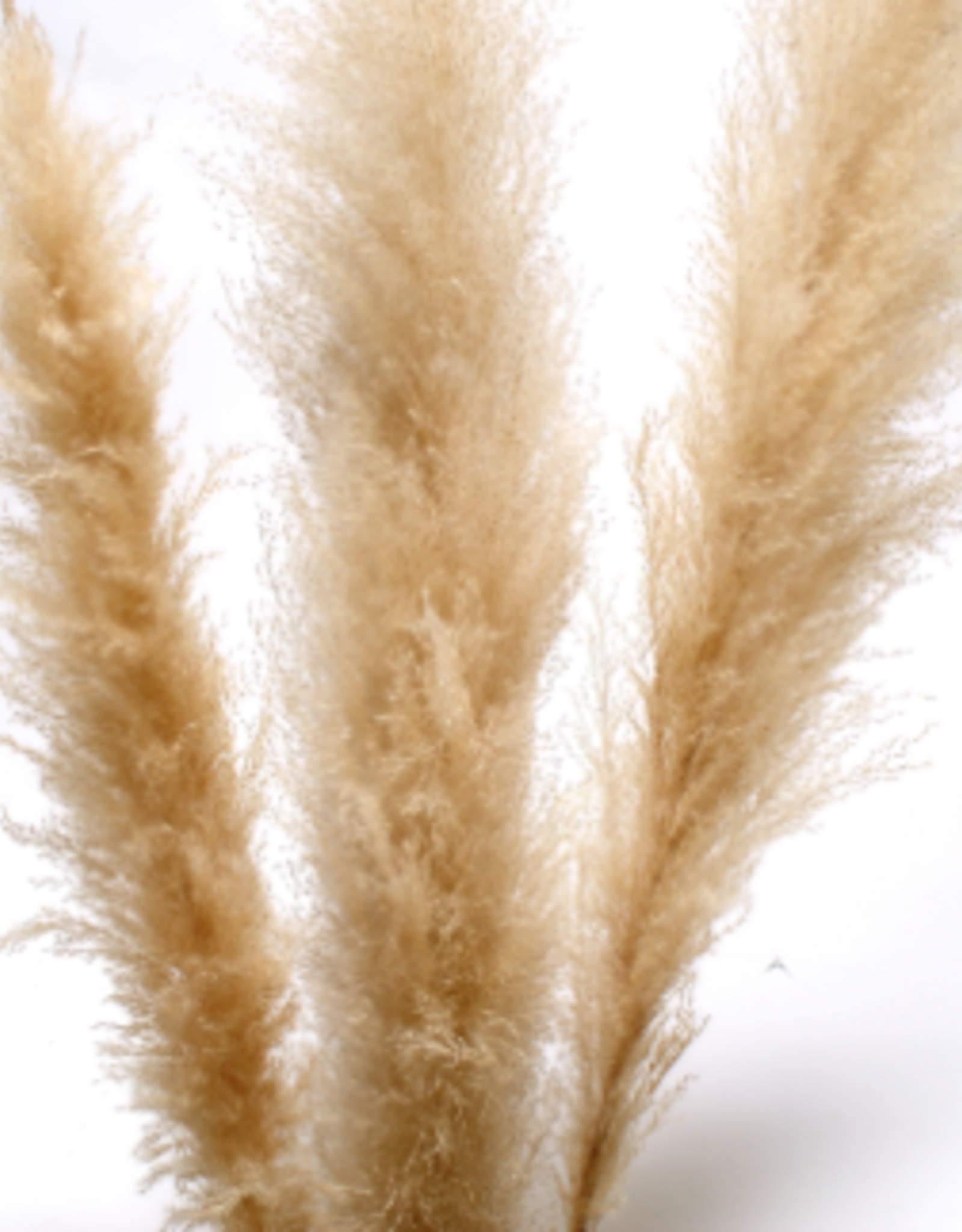 "60"" Cream Pampas Grass, 3 Stems / Bunch"