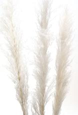 "60"" White Pampas Grass, 3 Stems / Bunch"