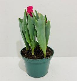 """Pink Tulip 6"""""""