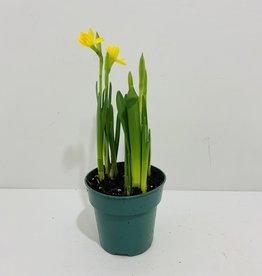 """Daffodil 4"""""""
