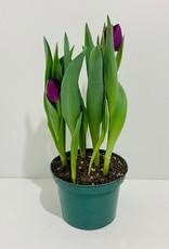 "Purple Tulip 6"""