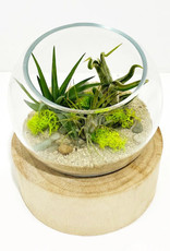 Air Plant Arrangement in Glass Bowl with Wooden Base
