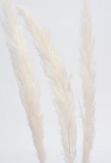 "45"" White Pampas Grass  3 Stems/ Bunch"