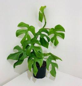 """Split Leaf Philodendron 5"""""""
