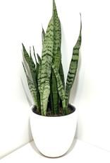 """10"""" Sansevieria in Shiny White Planter"""