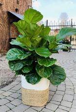 "14"" Fiddle Leaf Fig Bush in Madura Basket"