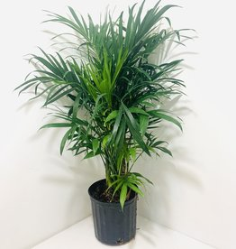 """Majesty Palm 10"""""""