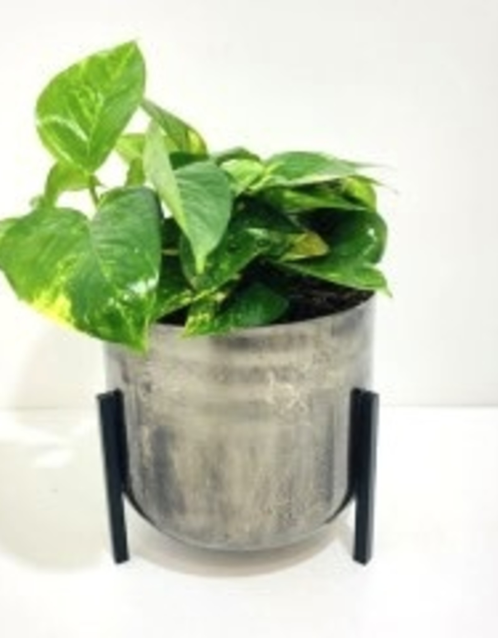 "6"" Pothos in Metal Footed Container"