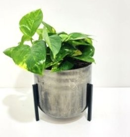 """6"""" Pothos in Metal Footed Container"""
