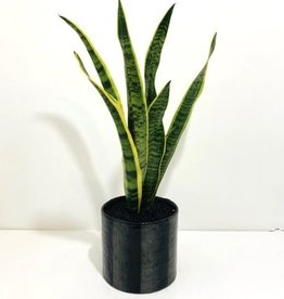 "6"" Sansevieria in Black Ceramic Pot"