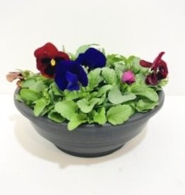 """Mixed Colours Pansy Bowl 12"""""""