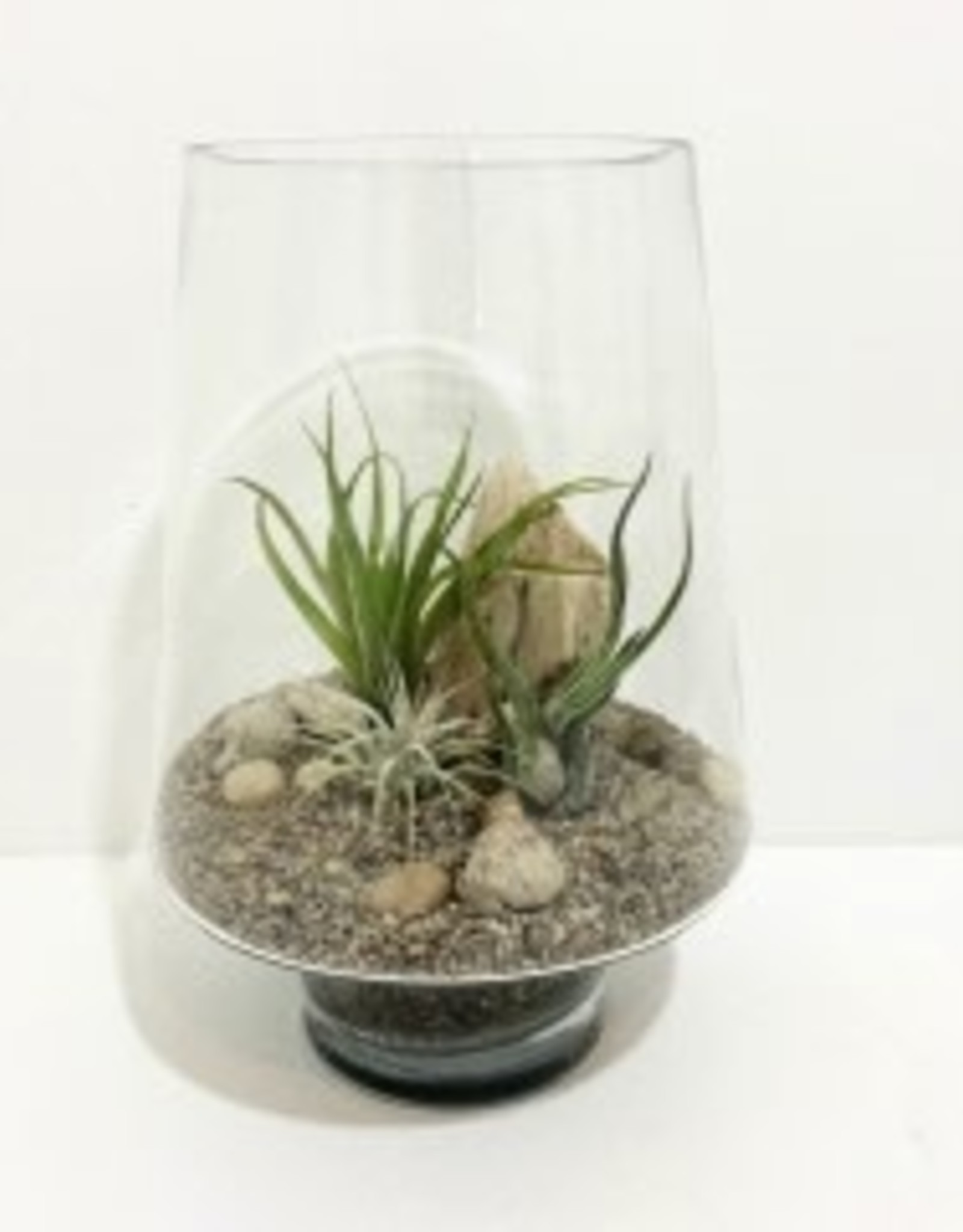 """Air Plant Arrangement in 10"""" Glass Container"""