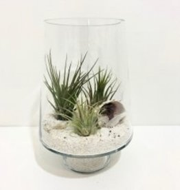 """Air Plant Arrangement in 12"""" Glass Container"""