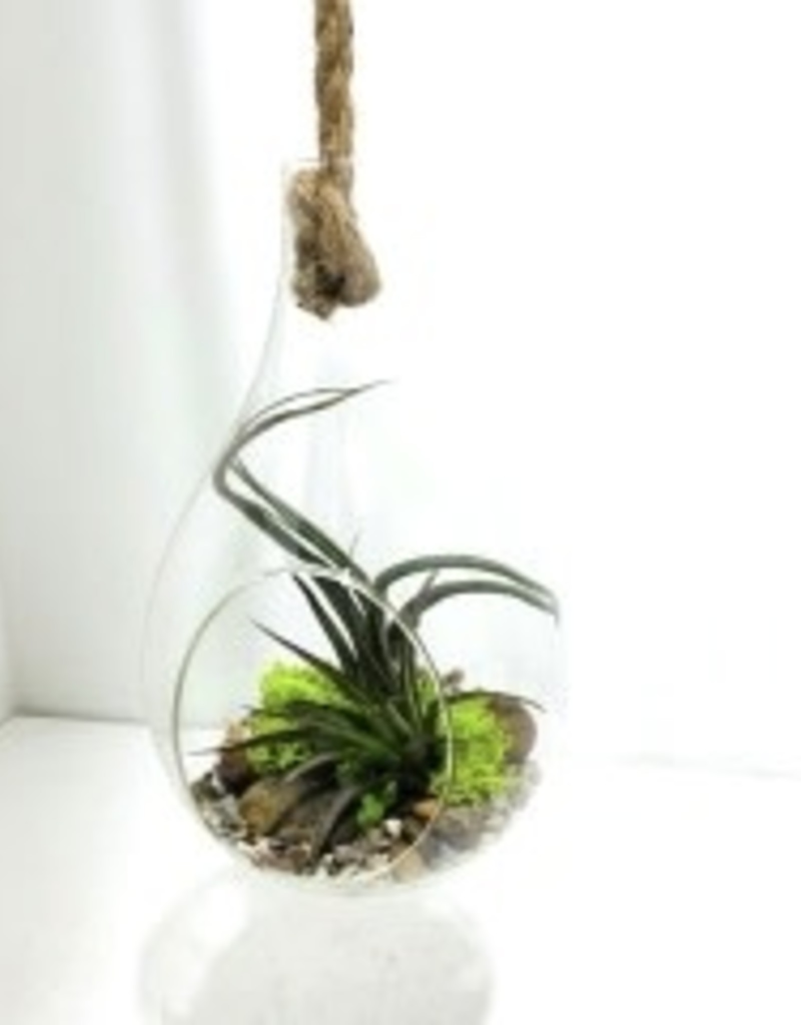 """Air Plant Arrangement in 8"""" Hanging Glass Tear Drop with Rope"""
