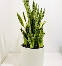 """10"""" Sansevieria in White Kendall Pot"""