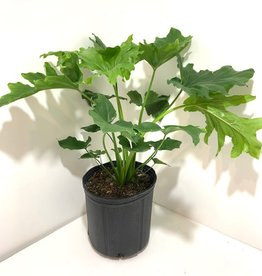 """Hope Philodendron 10"""""""
