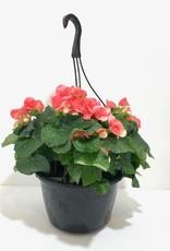 """Pink Begonia Hanging Basket 10"""""""