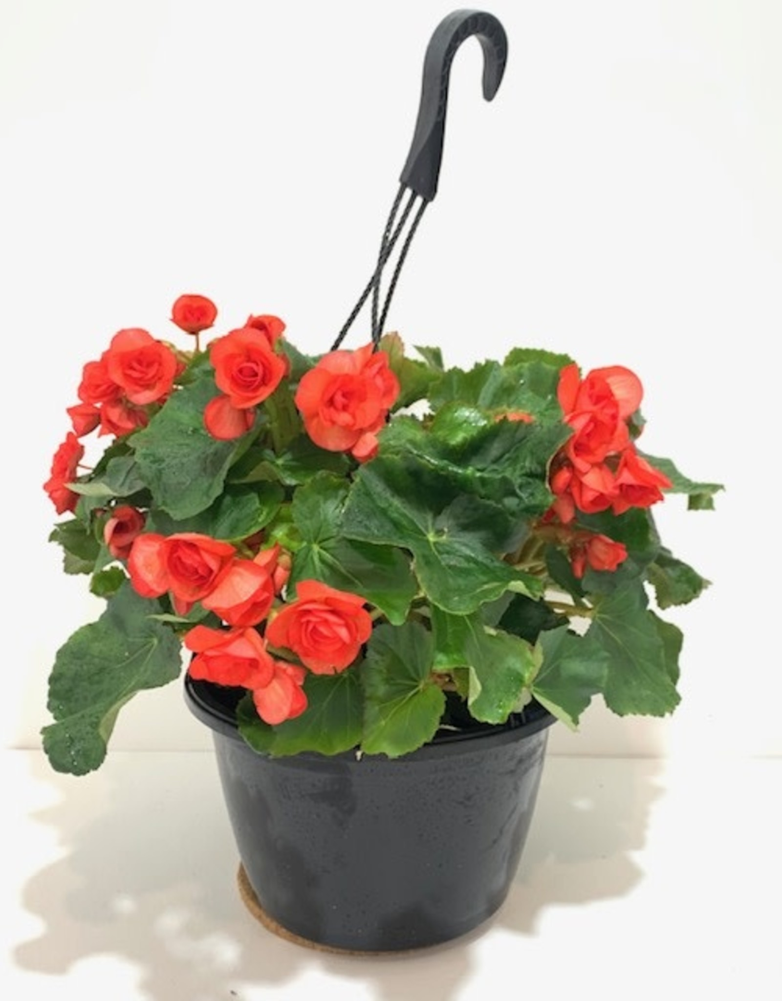 Red Begonia Hanging Basket 10""