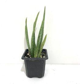 "Aloe Vera Assorted 2.5"""