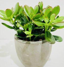 "6"" Jade in Grey Concrete Pot"
