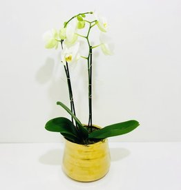 Double Stem White Orchid in Gold Ceramic Container