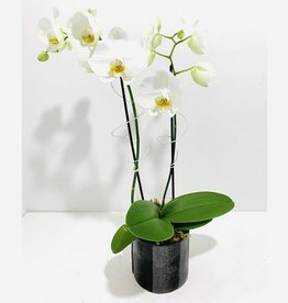 Double Stem White Orchid in Black Ceramic Pot