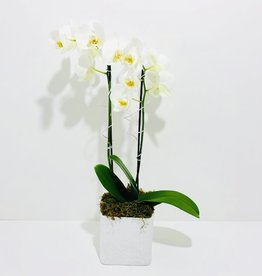Double Stem Orchid in White Linen Pot