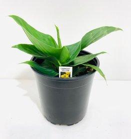 Yellow Canna Lily 1 Gallon