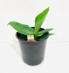 Green Leaf Rose Canna Lily 1 Gallon
