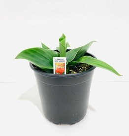 Red Canna Lily 1gal