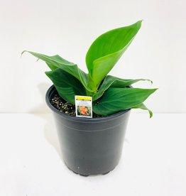 Orange Canna Lily 1gal