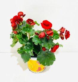 Ruby Red Solenia Begonia 1gal