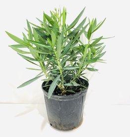 "Oleander Bush 10"""