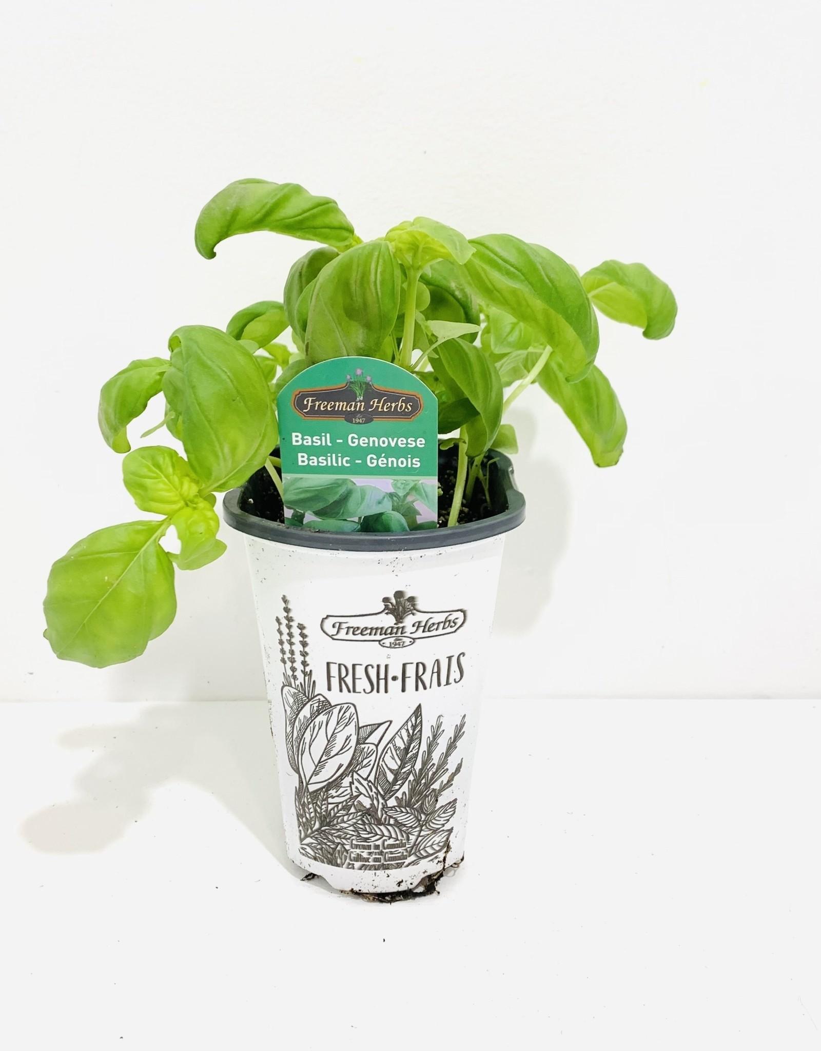 "Lettuce Leaf Basil 4"""